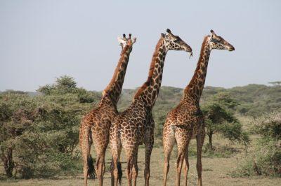 טיולי ספארי באפריקה